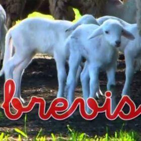 Bebés corderos en campo junto a sus madres. Idioma francés para bebés.