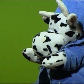 Marioneta vaca vestida de azul. Pasea por el campo.