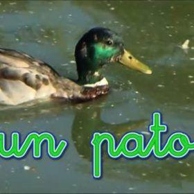 Un pato nada por el lago.